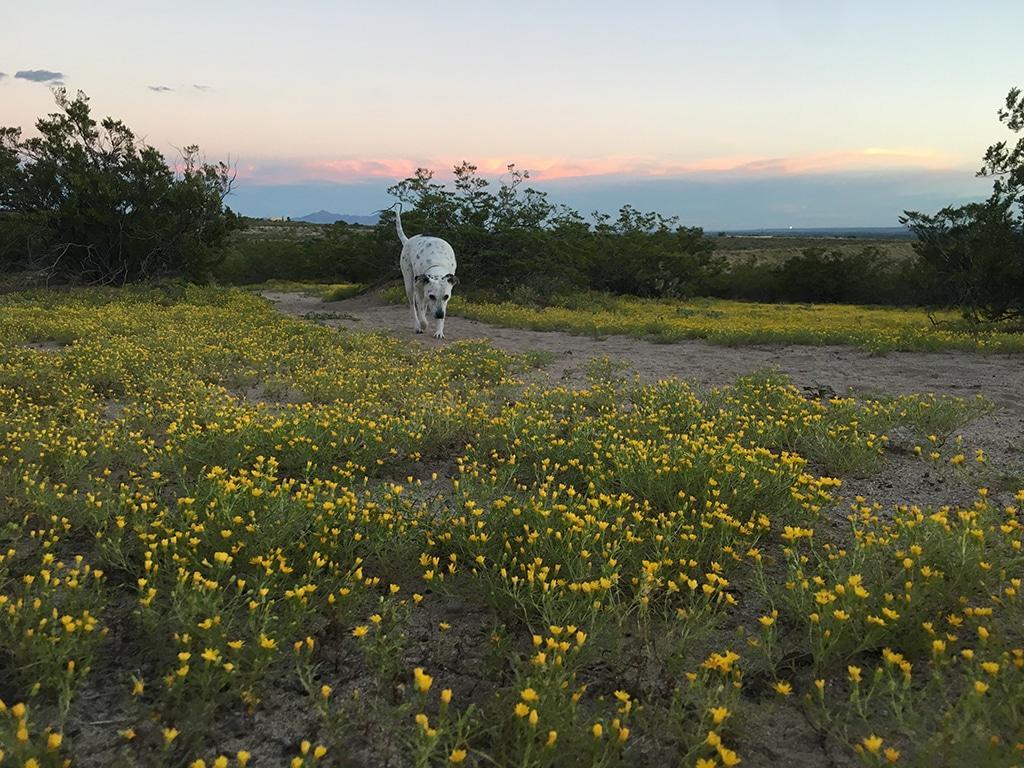 Las_Cruces_desert_flowers